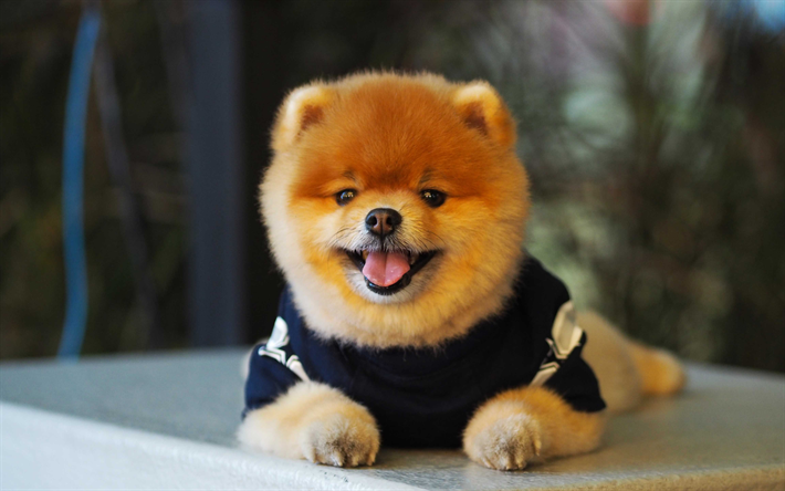 Simple Pomeranian Anime Adorable Dog - thumb2-pomeranian-cute-dogs-puppy-furry-dog-pets  Perfect Image Reference_381069  .jpg
