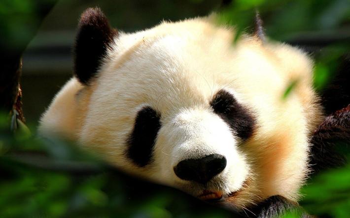 Ben noto Scarica sfondi panda, muso, orsi, animali divertenti, carino panda  LC29