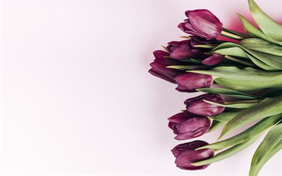 purple tulips, spring flowers, tulips on a pink background, beautiful flowers, tulips