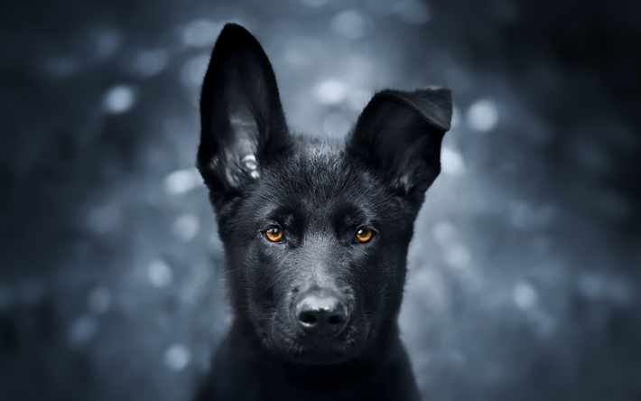 Black German Shepherd, puppy, close-up, cute animals, German Shepherd, black puppy, dogs, black dog, German Shepherd Dog