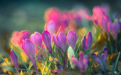 crocuses, pink flowers, spring, blur, bokeh, close-up