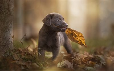 Chesapeake Bay Retriever, puppy, dogs, autumn, pets, gray puppy, cute animals, bokeh, Chesapeake Bay Retriever Dog