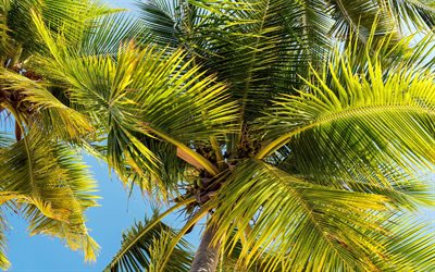 palm leaves, blue sky, tropical islands, palm trees, summer, travel concepts