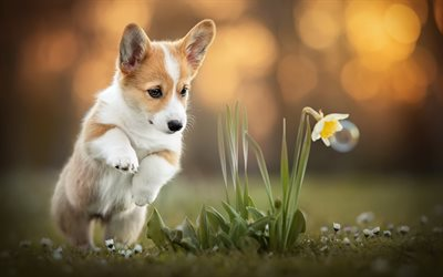 Corgi, puppy, pets, Welsh Corgi, dogs, little corgi, daffodils, cute dog, Welsh Corgi Dog, Pembroke Welsh Corgi