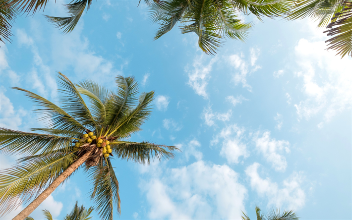 palms, coconuts, clear blue sky, tropical islands, summer, palm leaves