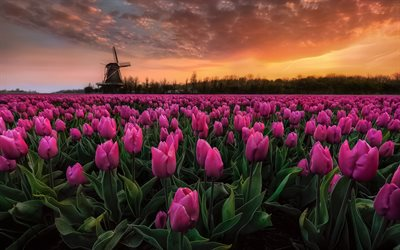 tulip field, evening, sunset, pink tulips, mill, Netherlands, wild flowers, tulips