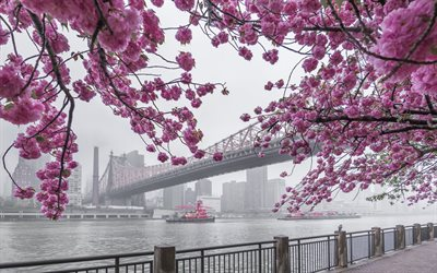 New York, Manhattan, Queensboro Bridge, East River, våren, sakura, cherry blossom, stadsbilden, USA