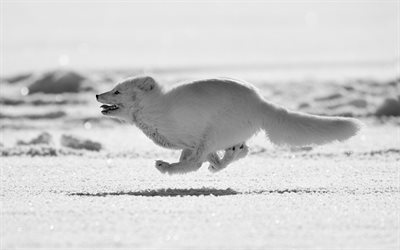 running arctic fox, snowdrifts, winter, Arctic, wildlife, arctic fox, Vulpes lagopus, polar fox, snow fox