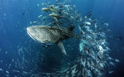 whale shark, sea, fish, sharks, underwater world