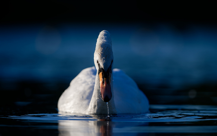 white swan, lake, evening, water, beautiful white bird