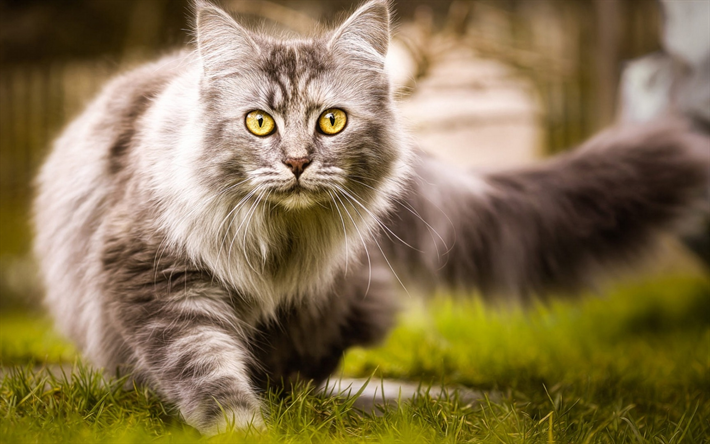 Maine Coon, lawn, fluffy cat, cute animals, gray Maine Coon, pets, cats, domestic cats, Maine Coon Cat