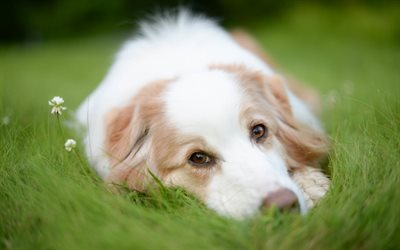 Australian Shepherd, Aussie, cute dog, puppies, dog in green grass, cute animals, pets
