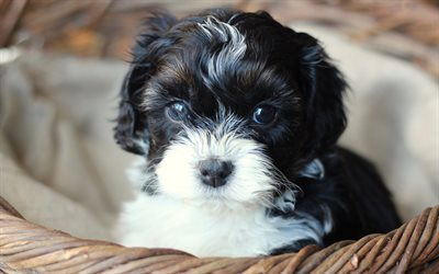 Download Wallpapers Shih Tzu Black And White Puppy 4k