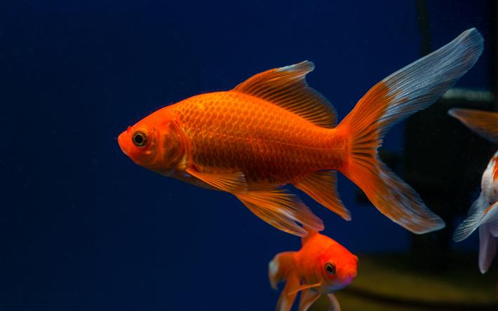 herunterladen hintergrundbild goldfisch aquarium 4k sch ne fische algen f r desktop. Black Bedroom Furniture Sets. Home Design Ideas