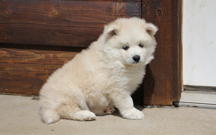 cute white puppy, Pomsky Puppies, furry little dog, cute animals
