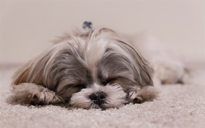 Yorkshire Terrier, 4k, sleeping dog, lazy concepts, little fluffy dog, cute animals