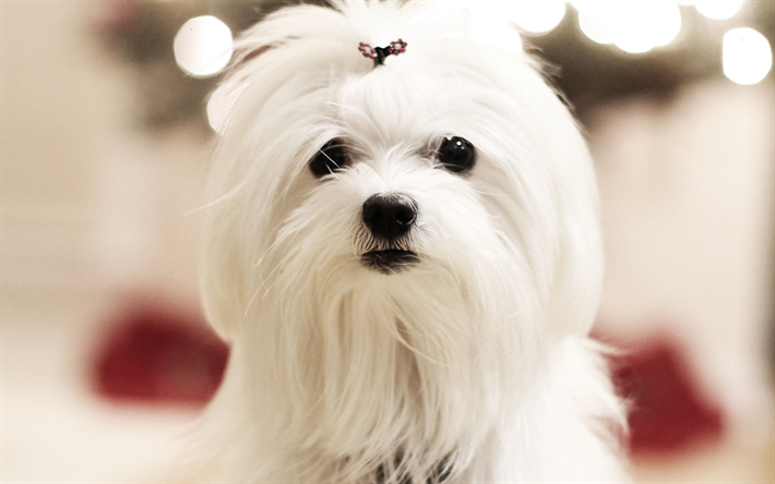 Maltese, muzzle, cute animals, furry dog, pets, dogs, Maltese dog