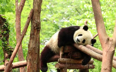 tired panda, cute bears, pandas, sleeping panda, tired concepts, wildlife, wild animals