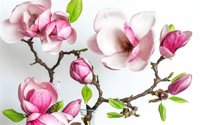 Magnolia, pink flowers, pink magnolia, spring flowers, background with magnolia