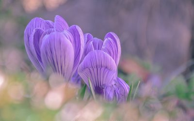 crocuses, wildflowers, purple flowers, grass, morning