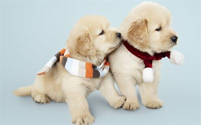 Labradors, little cute puppies, winter, golden retrievers, small dogs, cute animals, dogs