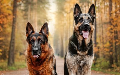 Two German Shepherds, pets, autumn, bokeh, close-up, dogs in forest, German Shepherd, dogs, German Shepherd Dog