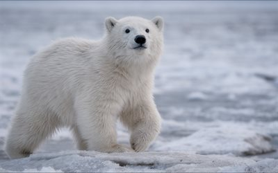 polar bear, North, winter, snow, white bear, wildlife, predator, bear, wild animals