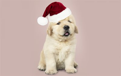 little golden retriever, christmas, new year, cute puppy, small dog, labrador, santa hat, dogs