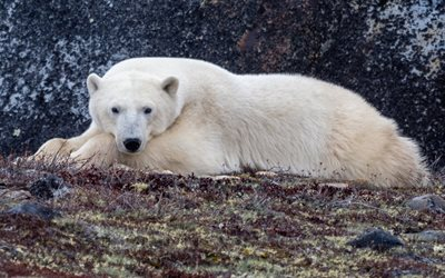 polar bear, predators, wildlife, bears, Arctic, wild animals