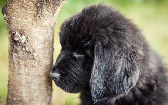 t l charger fonds d 39 cran terre neuve chiot animaux domestiques animaux rigolos chien noir. Black Bedroom Furniture Sets. Home Design Ideas