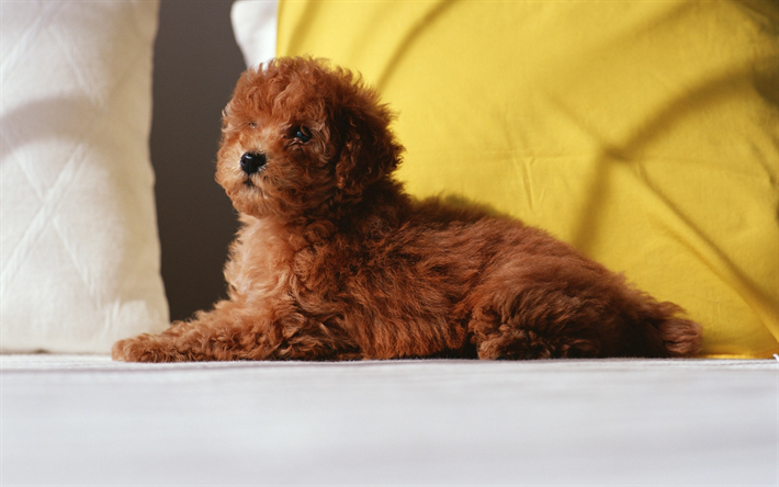 little brown poodle, cute animals, curly dog, puppy, pets, dogs