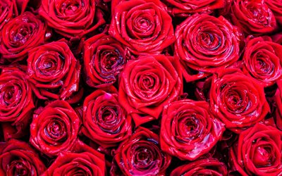 red roses background, red rose buds, red bouquet of flowers, roses