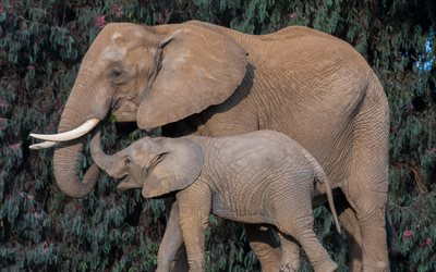 african elephants, elephant family, cute animals, elephants, Africa, wild animals, wildlife