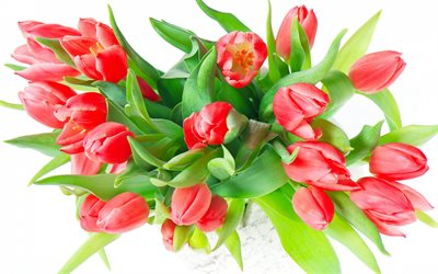 red tulips on a white background, white flowers, a bouquet of red tulips, background with tulips, spring flower background, tulips