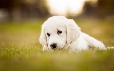 Sad labrador puppy, bokeh, dogs, cute dogs, pets, Golden Retriever, small labradors, puppy, Golden Retriever Dog, cute animals, Small Golden Retriever