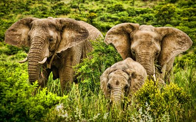 elephants family, HRD, Africa, savannah, elephants, Elephantidae, big elephants, HDR