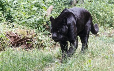 Panther, black jaguar, predator, green grass, wild nature