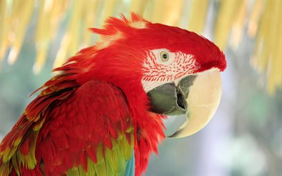 Scarlet macaw, 4k, close-up, macaw, parrots, red parrot, Ara macao