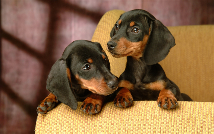 Dachshund Puppies Pets Dogs Black Close Up Cute