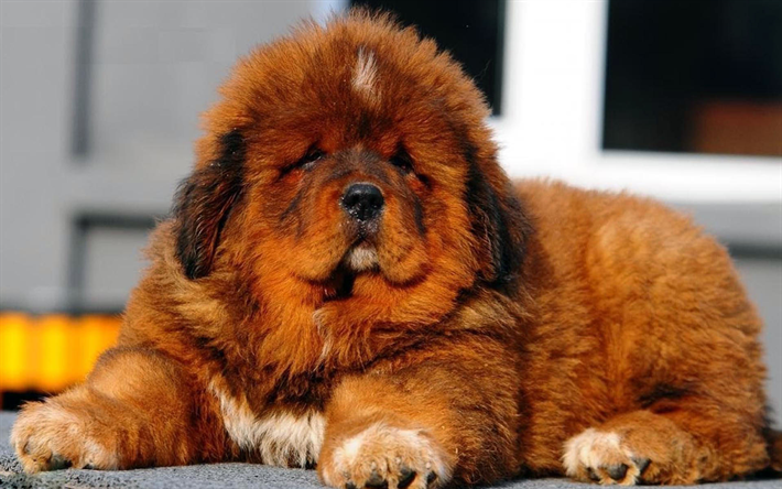 Download Fluffy Brown Adorable Dog - thumb2-tibetan-mastiff-puppy-fluffy-dog-cute-dog-brown-tibetan-mastiff  Best Photo Reference_148047  .jpg