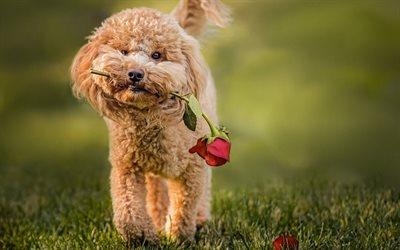 Télécharger fonds d'écran Caniche, rose, bouclés chien, la pelouse, les  animaux de compagnie, chiens, drôle de chien, Chien Caniche pour le bureau  libre. Photos de bureau libre