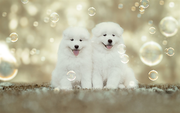 Download Wallpapers Samoyed White Fluffy Puppies Small White Dogs Pets Cute Funny Dogs Soap Bubbles Dog Breeds For Desktop Free Pictures For Desktop Free