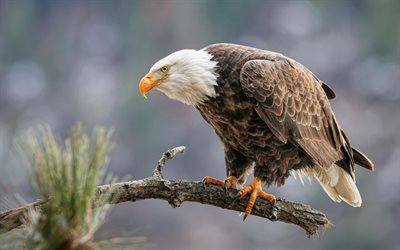 bald eagle, beautiful bird, eagle, bird of prey, mountain, USA, symbol of USA