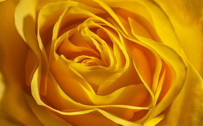 yellow rosebud, rosebuds background, yellow roses, roses background, yellow floral background