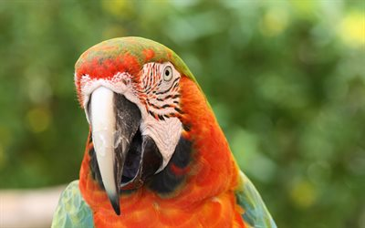 Scarlet macaw, close-up, parrots, red parrot, Ara macao, macaw
