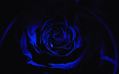 4k, blue rose, darkness, close-up, roses, blue flowers, blue roses
