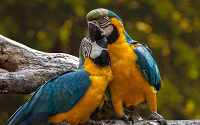 Macaw, couple, bokeh, parrots, branch, colorful parrots, Ara