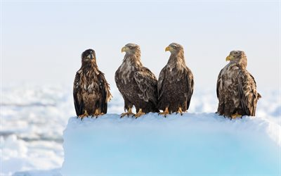 eagles, birds of prey, brown eagle, snow, winter, beautiful birds