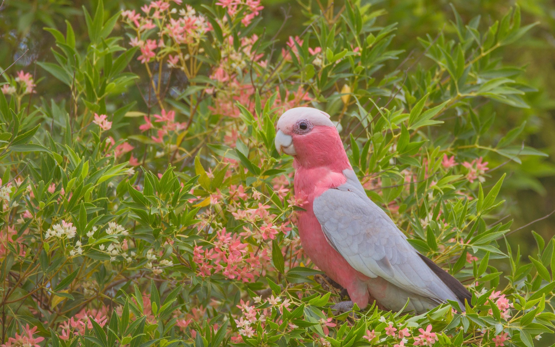 galah, rose-breasted cockatoo, rosa papagei, schöne rosa vogel, australien, galah cockatoo, rosa cockatoo, parrot