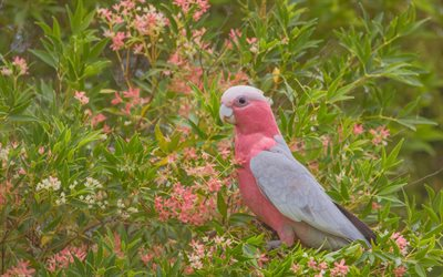 Galah, rose-breasted cockatoo, pink parrot, beautiful pink bird, Australia, galah cockatoo, roseate cockatoo, parrot